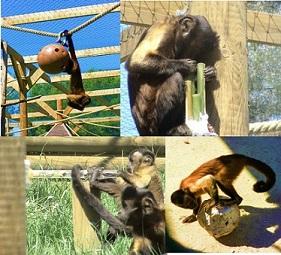 Exemples d'enrichissements conçus pour des primates arboricoles, ici des capucins bruns